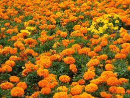 flores de calêndula e folhas