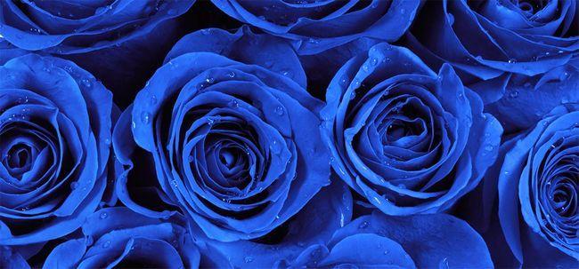 Top 10 mais belas rosas azuis
