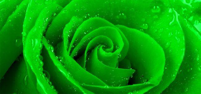 Top 10 rosas verdes mais belas