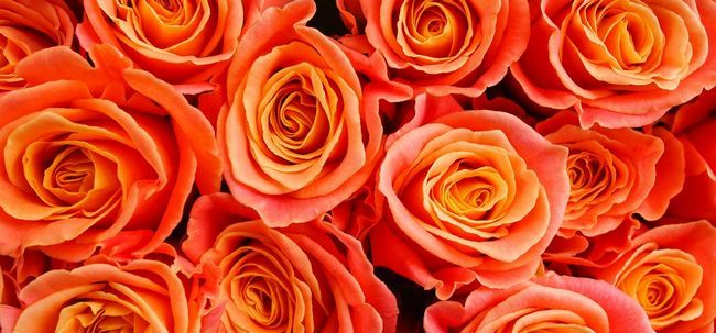 Top 10 rosas alaranjadas mais belas