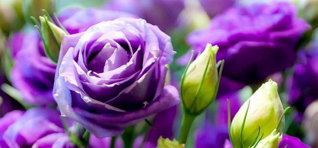 Top 10 mais belas rosas roxas