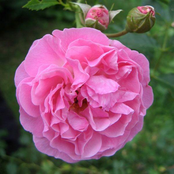 Lavender Lassie Rose
