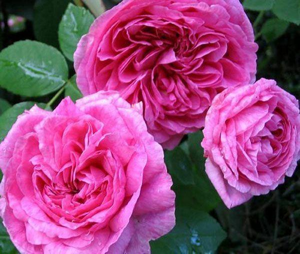 Princesa Anne Rose