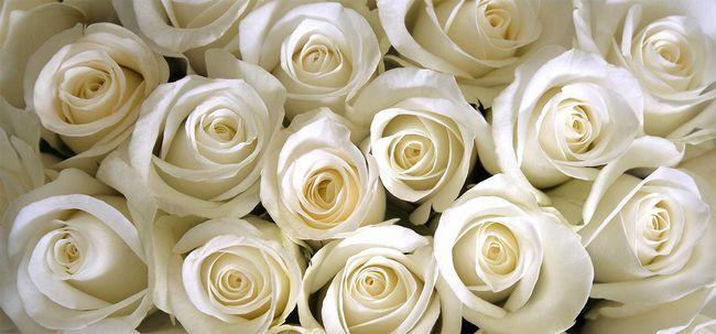 10 Mais belas rosas brancas top